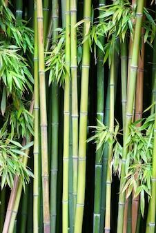 Groene bamboe kan worden gebruikt voor natuurlijke achtergrond