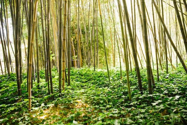 Groene bamboebosjes met klimop in bos