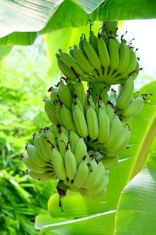 Groene banaan op bananenboom.