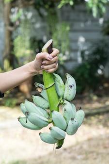 Groene banaan op boerderij. de holding van de hand toont groene bananen voor verkoopt.