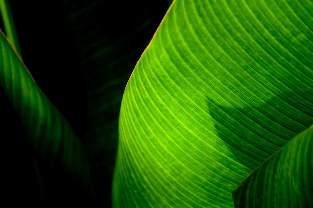 Groene banaanbladeren in de tuin - sluit omhoog