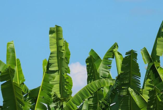 Groene banaanbladeren met wolkenhemel als achtergrond.