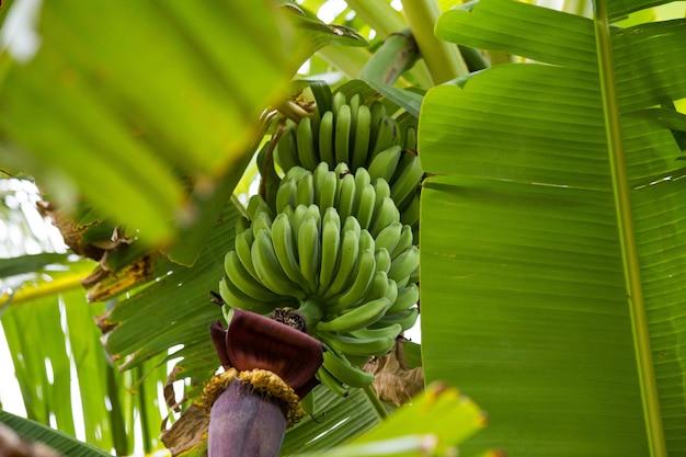 Groene banaanbos in boom in het onrijpe wildernisclose-up ,.