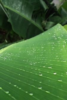 Groene bananenboom blad met dauw druppels. natuur na regen. frisheid na regen of bij zonsopgang