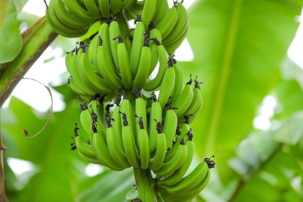 Groene bananenboom op het bananenveld