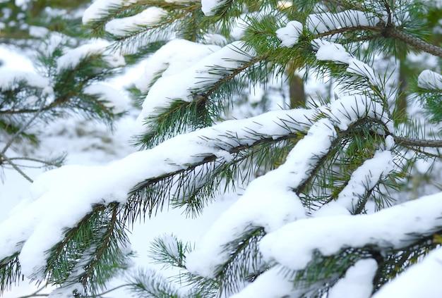 Groene besneeuwde bevroren sparren takken van een mooie grote spar die in het bos groeit