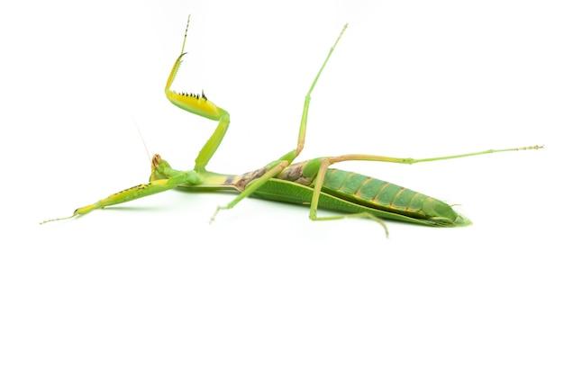 Groene bidsprinkhaan geïsoleerd op een witte achtergrond ligt op zijn rug verslagen