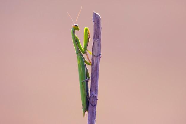 Groene bidsprinkhaan op een takclose-up