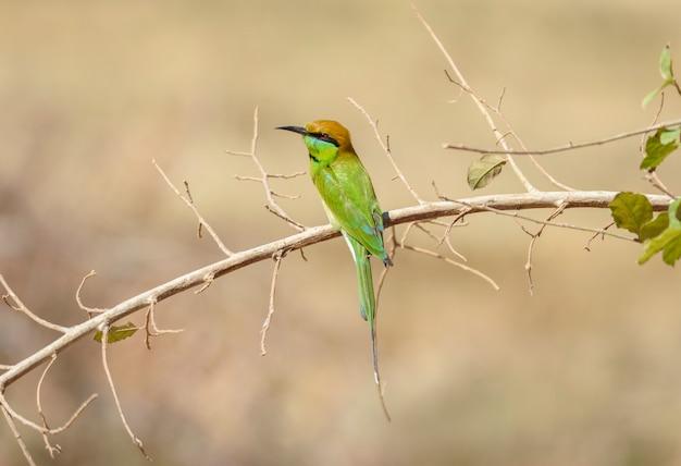 Groene bij-eter die op boomtak neerstrijkt bij reservoir chorakhe mak