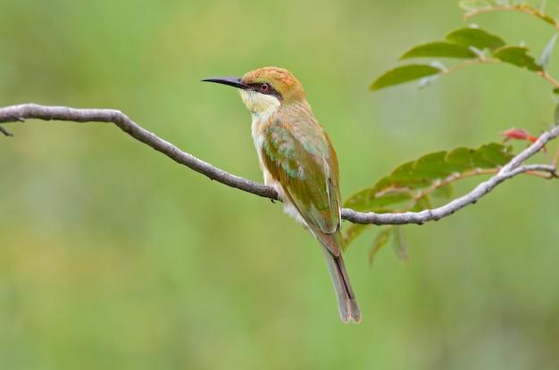 Groene bijeneter merops orientalis mooie vogels van thailand