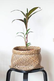 Groene binnenplant in een rieten pot. de leefruimte verfraaien met groene planten. kamerplant. kopieer ruimte. hoge kwaliteit foto