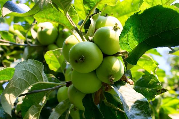 Groene biologische appels op tak