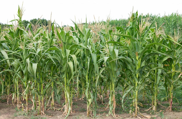 Groene biologische maïsveld zomerdag