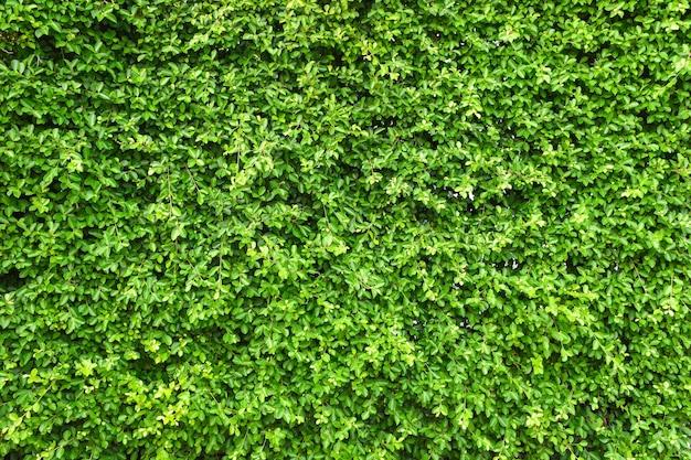 Groene blad muur achtergrond.