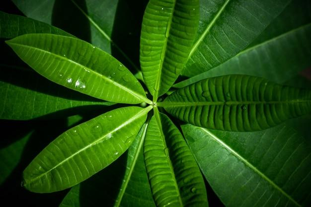 Groene bladachtergrond mooi in de tuin en decoratieve planten voor het plaatsen van tekst en letters.