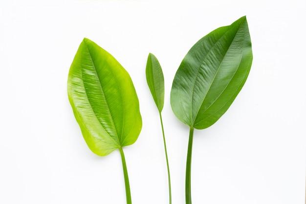 Groene bladeren, de modderbaby van texas, echinodorus-cordifoliusbladeren op wit worden geïsoleerd dat