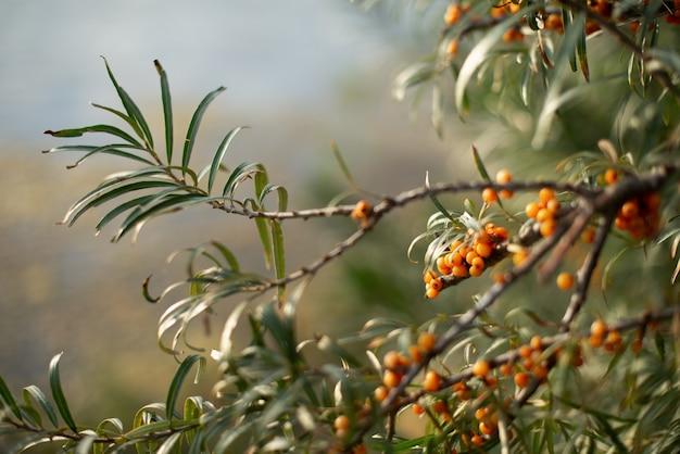 Groene bladeren en gele bessen van duindoorn