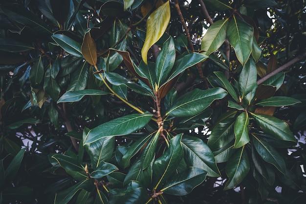 Groene bladeren en takken van een magnoliaboom