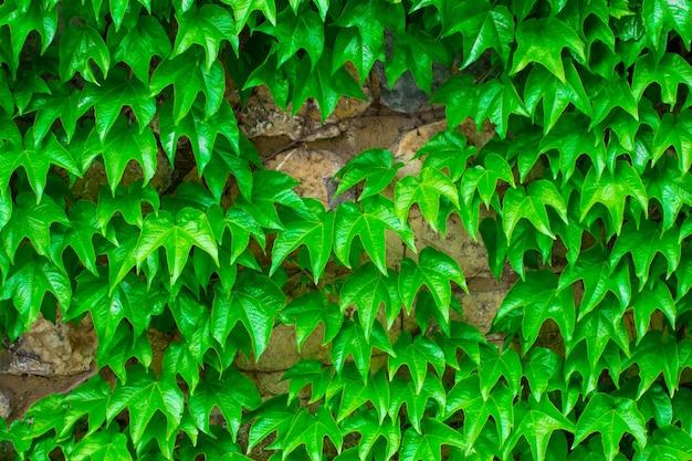 Groene bladeren. groene bladeren muur textuur. zomer achtergrond.
