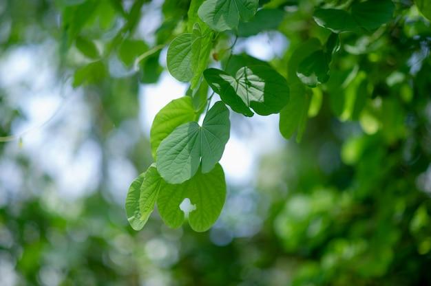 Groene bladeren liggen in het groene gebied in het regenseizoen.