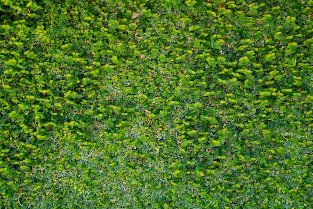 Groene bladeren muur achtergrond, blad muur aard achtergrond,
