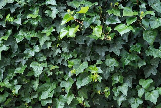 Groene bladeren muur achtergrond