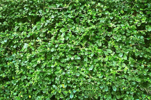 Groene bladeren muur textuur of achtergrond van boom hek