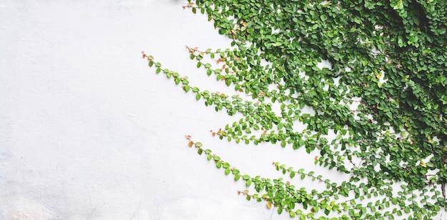Groene bladeren op een witte achtergrond van de pleistermuur.