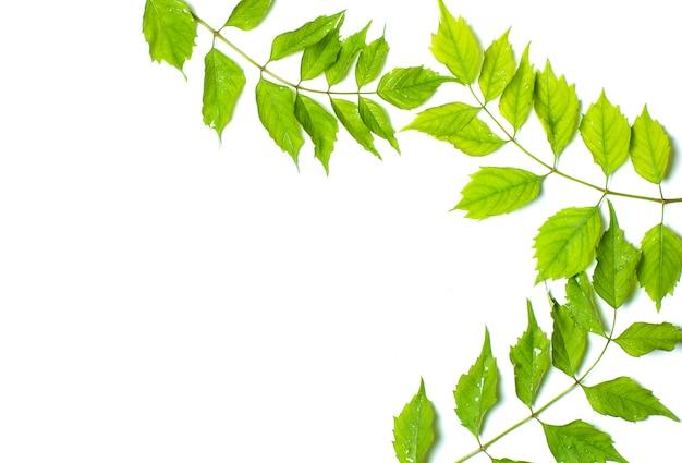 Groene bladeren op wit