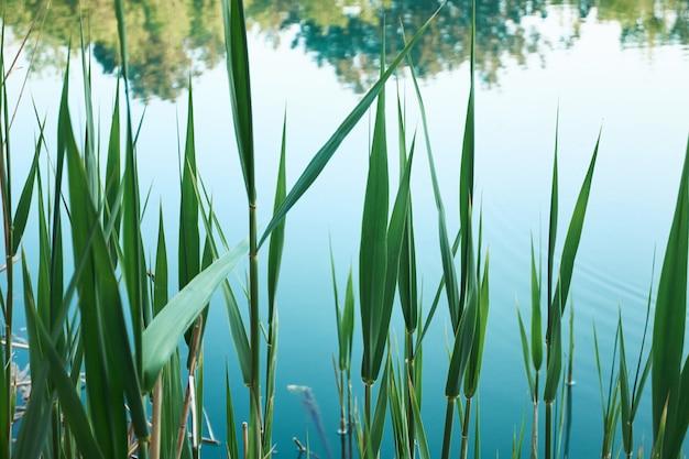Groene bladeren van bies op blauw meer
