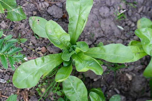 Groene bladeren van calendula officinalis of pot goudsbloem, gewone goudsbloem, scotch goudsbloem, ruddles, pot goudsbloem.