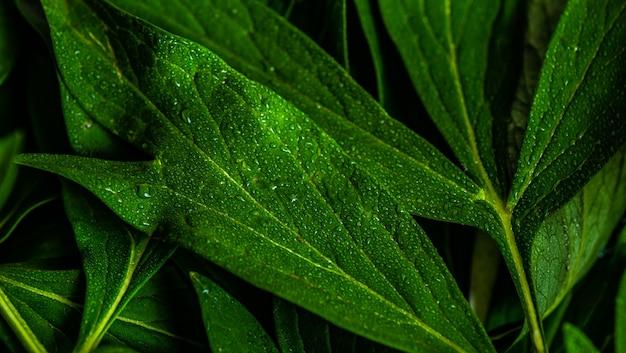 Groene bladeren van de plant van de pioenbloem en frame als de zomerconcept als achtergrond