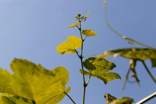Groene bladeren van druiven in de lente, jong groen gebladerte van druiven tegen de blauwe lucht