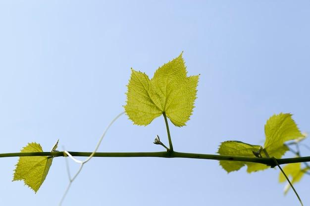 Groene bladeren van druiven in het lenteseizoen