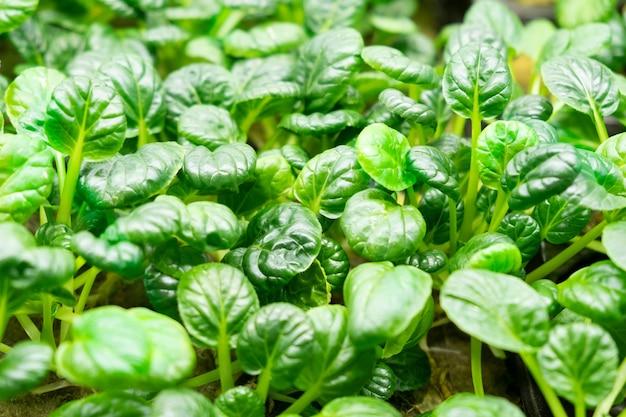 Groene bladeren van edenvia-sla gekweekt op een microfarm met behulp van de agroponische methode. kool tatsoy