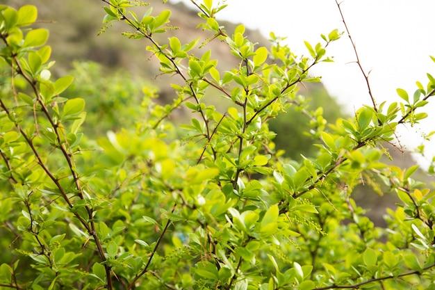 Groene bladeren van een struik met doornen