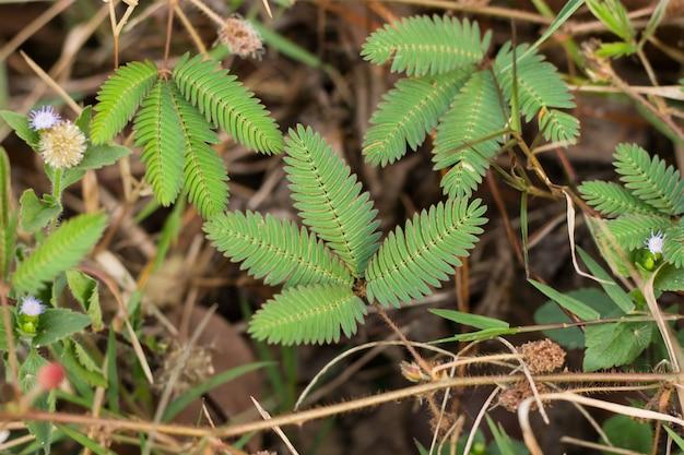 Groene bladeren van gevoelige plant, slaperige plant (mimosa pudica) op groene en paarse achtergrond tonen betekenis van verlegen,