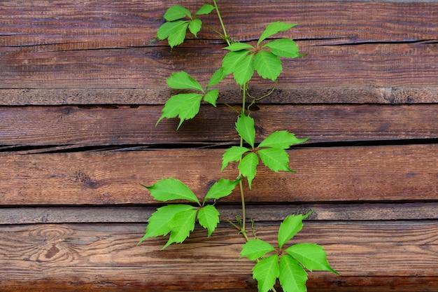 Groene bladeren van jonge druiven op de achtergrond van een houten muur