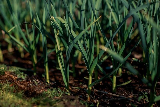 Groene bladeren van knoflook in de tuin.