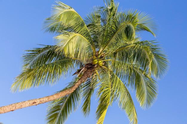 Groene bladeren van kokospalm tegen de blauwe lucht, thailand. natuur reisconcept