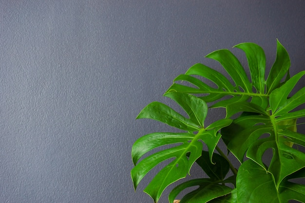 Groene bladeren van monstera