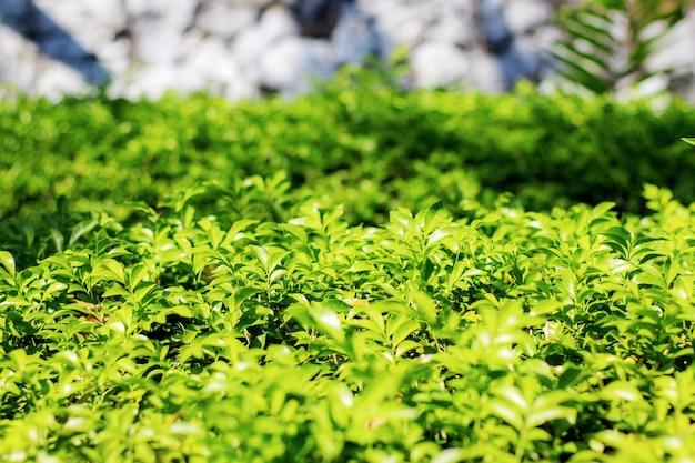 Groene bladeren van versiering in de tuin bij een muur.