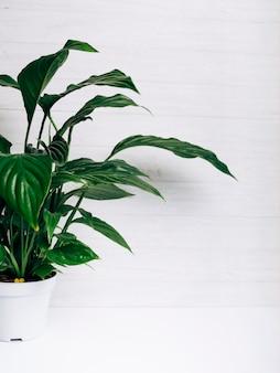 Groene bladereninstallatie in witte pot tegen witte achtergrond