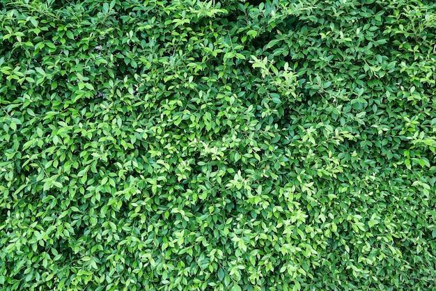 Groene bladerenmuur
