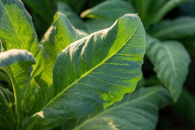 Groene bladerentabak op een wazig tabaksveld