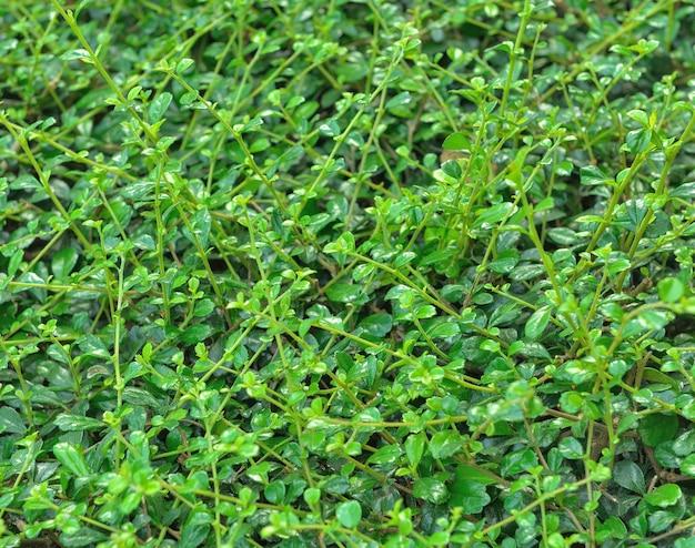 Groene bladmuur