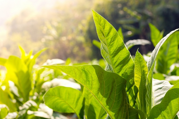 Groene bladtabak sluit omhoog anda vage tabaksveldachtergrond
