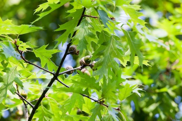 Groene boom eik
