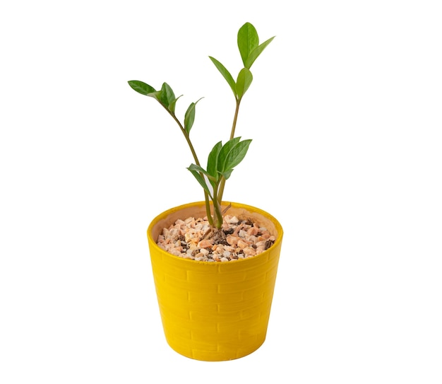 Groene boom in gele bloempot geïsoleerd op een witte achtergrond.