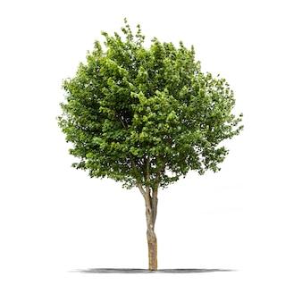Groene boom op een witte achtergrond